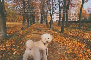 公園で小さな白い犬の写真・画像素材[1003426]