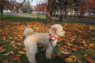 公園内の小型犬の写真・画像素材[1003435]
