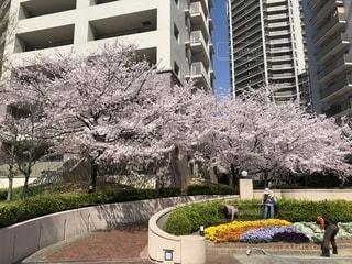 春,桜,満開,2018年,平成最後