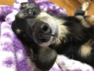 ベッドの上で横になっている黒犬の写真・画像素材[985757]