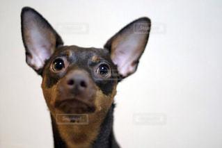 カメラを見て犬の写真・画像素材[973114]