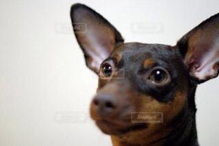 カメラを見て犬の写真・画像素材[973116]