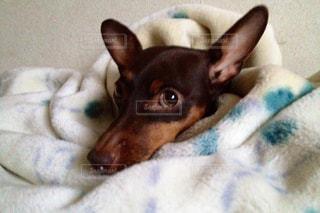 ベッドの上で横になっている茶色と白犬の写真・画像素材[973119]