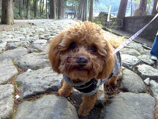 茶色の小さな犬の写真・画像素材[983758]