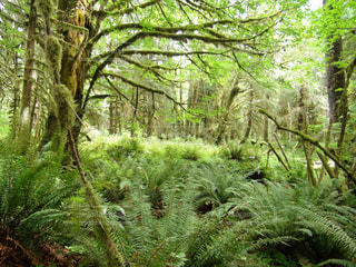 アメリカ,樹木,西海岸,国立公園,シダ,自然保護,レインフォレスト,温帯雨林