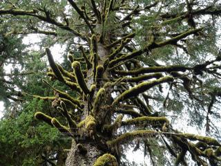 温帯雨林の風景 苔の生えた樹木の写真・画像素材[1007207]