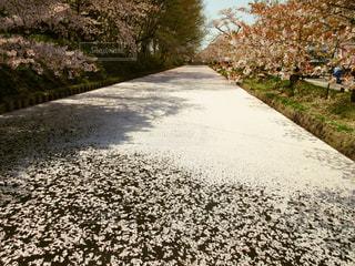 弘前公園花筏の写真・画像素材[1158235]