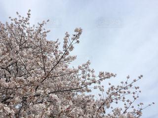 桜越しの青空の写真・画像素材[1099178]