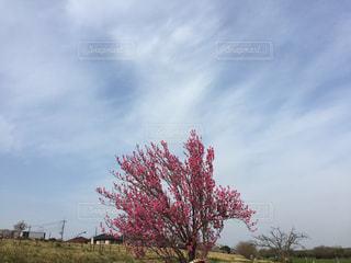 梅の木と青空の写真・画像素材[1099182]