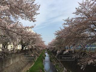 桜並木越しの青空の写真・画像素材[1099190]