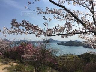 桜越しの瀬戸内海の写真・画像素材[3100206]