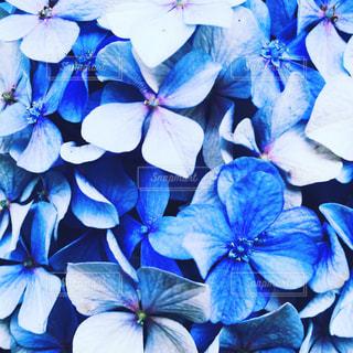 紫陽花,梅雨,青紫