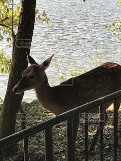 京都の宝ヶ池公園で見た鹿の写真・画像素材[1013750]