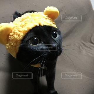 クマのかぶりものをかぶった黒猫の写真・画像素材[974647]