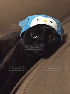 ペンギン猫の写真・画像素材[977889]