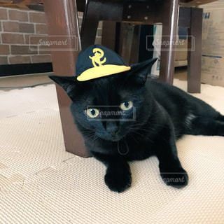 犬野球チームの帽子をかぶった猫の写真・画像素材[977908]