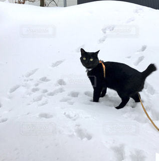 雪の庭を歩く黒い猫の写真・画像素材[980065]