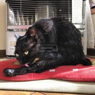 シャワーに入れられた後の猫の写真・画像素材[980067]