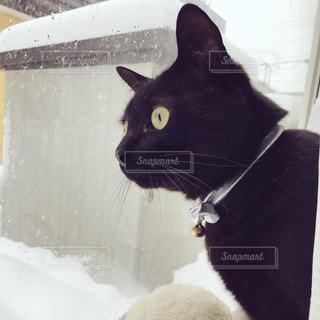 窓から雪を眺める猫の写真・画像素材[980070]