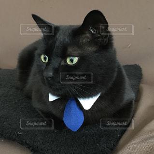 ビシッと決める日のネクタイ猫の写真・画像素材[980071]