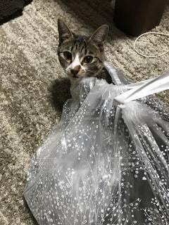 ビニール袋に入って遊ぶ子猫の写真・画像素材[981723]