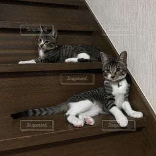 階段から獲物を狙う子猫たちの写真・画像素材[983665]