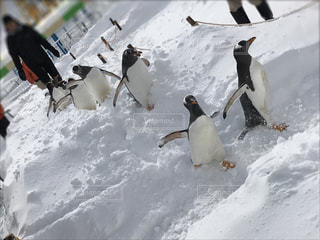 ペンギンの散歩の写真・画像素材[985107]