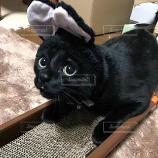うさぎ耳猫の写真・画像素材[1138502]