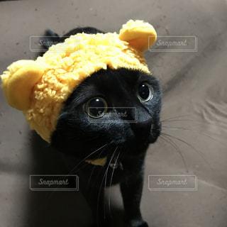 クマ耳ネコの写真・画像素材[1138507]