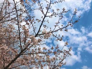 風景,空,花,春,屋外,満開,樹木,快晴,草木,桜の花,さくら,桜満開,ブロッサム