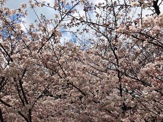 空,花,春,屋外,葉,満開,樹木,草木,桜の花,さくら,桜満開,ブロッサム