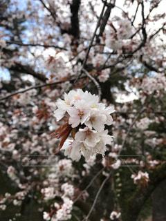 花,春,屋外,ピンク,満開,樹木,草木,桜の花,さくら,ブルーム,ブロッサム,十分咲き