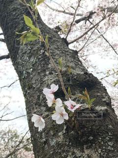 花,桜,屋外,樹木,幹,草木,芽吹き