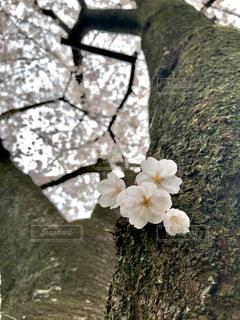 桜のクローズアップの写真・画像素材[3059864]