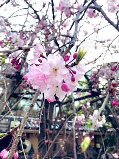 花,春,桜,屋外,ピンク,鮮やか,接写,草木,桜の花,さくら,ブルーム,ブロッサム