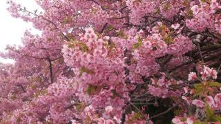 花,春,屋外,ピンク,満開,樹木,草木,桜の花,さくら,桜満開,ブルーム,ブロッサム,十分咲き