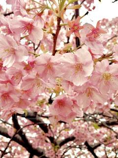 桜の写真・画像素材[3059906]