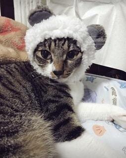 パンダ?のもこもこ帽子を被せられたねこの写真・画像素材[3982282]