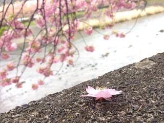 伊豆の桜まつりにての写真・画像素材[4133518]