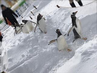 ペンギンのお散歩の写真・画像素材[4200455]