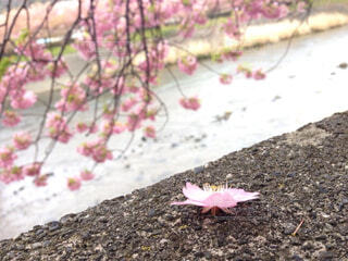 桜の花と川の写真・画像素材[4290335]