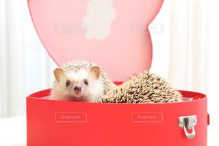 ピンク,赤,ペット,ハート,ハリネズミ,可愛い,バレンタイン,♡,ふわもこ,インスタ映え