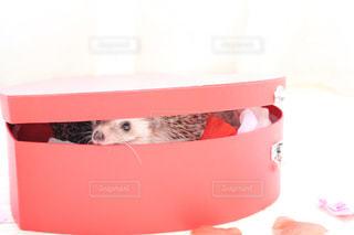 ピンク,赤,ペット,ハート,ハリネズミ,可愛い,バレンタイン,ふわもこ,インスタ映え