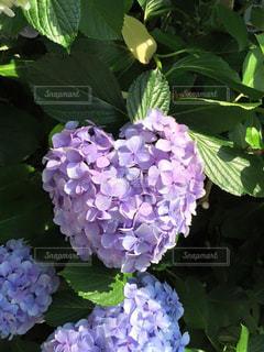 ハート型紫陽花の写真・画像素材[1112626]