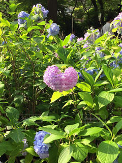 ハート型紫陽花の写真・画像素材[1112627]