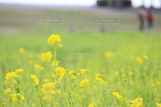 葛西臨海公園の菜の花の写真・画像素材[1122968]