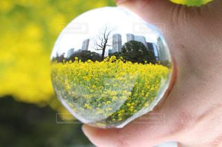 水晶の中の菜の花の写真・画像素材[1122977]