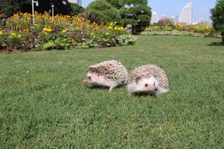 芝生の上のハリネズミの写真・画像素材[1158219]