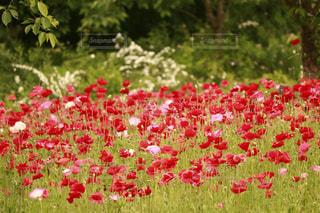 赤いポピー畑の写真・画像素材[1158227]