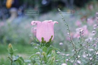 ピンクの花のアップの写真・画像素材[1158237]